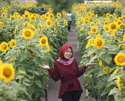 Wisata Kebun Bunga Matahari